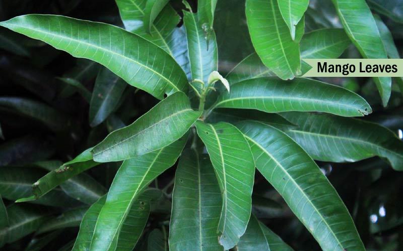 Health Benefits Of Mango Roots Bark Leaves Seed