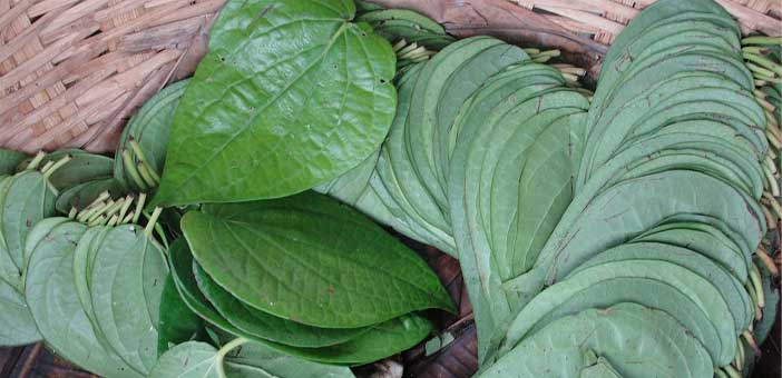 how to grow betel plant