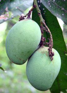 Health Benefits of Mango - Roots, Bark, Leaves, Seed Kernel, Flowers