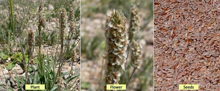 isabgol plant flower seeds