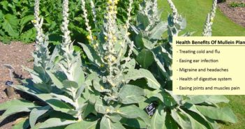 Health Benefits Of Mullein Plant
