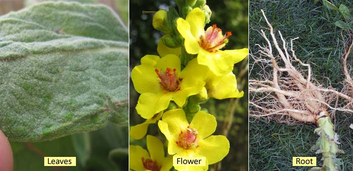 Health Benefits Of Mullein Plant Root Leaves Flower