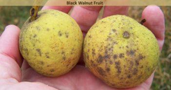 Health Benefits Of Black Walnut