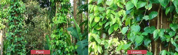 black pepper plant leaves