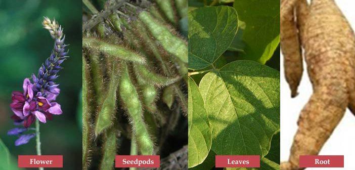Health Benefits Of Kuzu Root