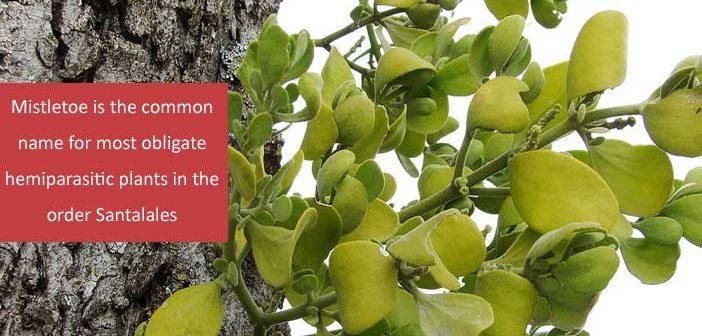 10 Health Benefits Of Mistletoe