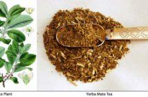 Yerba Mate Plant Tea