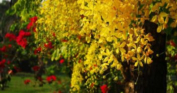 Cassia Tree Flower
