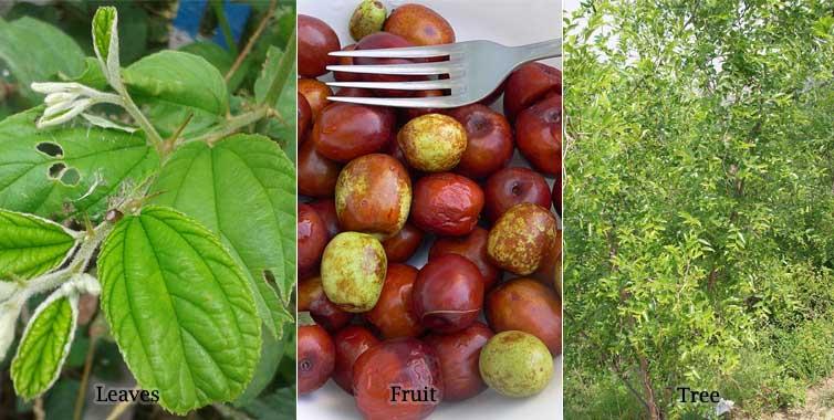 Jujuba Leaves Fruit Trees