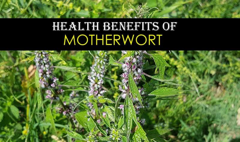 Motherwort Health Benefits