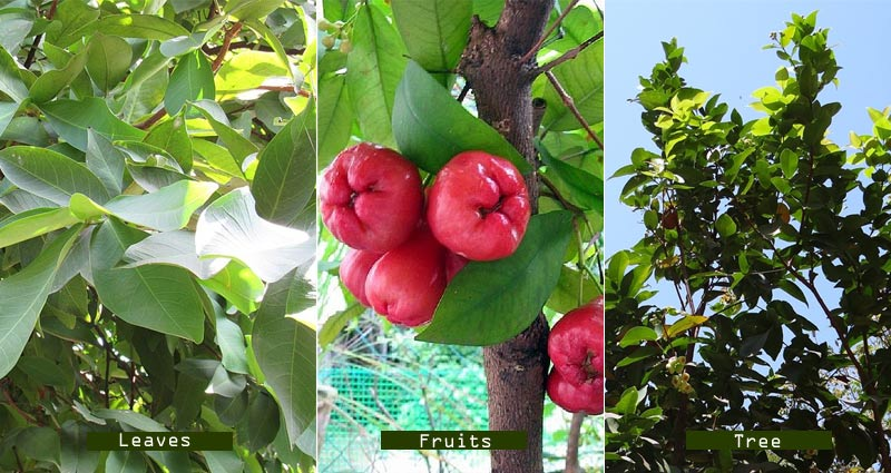 Health Benefits of Rose Apple or Water Apple - Side Effects, Nutritional Data
